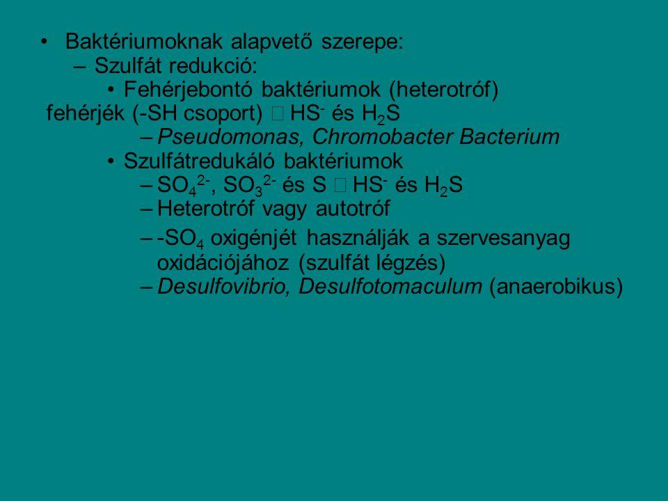 Baktériumoknak alapvető szerepe: –Szulfát redukció: Fehérjebontó baktériumok (heterotróf) fehérjék (-SH csoport) → HS - és H 2 S –Pseudomonas, Chromob