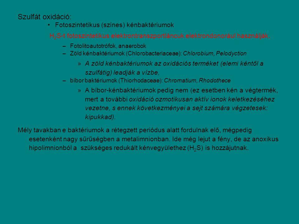 Szulfát oxidáció: Fotoszintetikus (színes) kénbaktériumok H 2 S-t fotoszintetikus elektrontranszportláncuk elektrondonorául használják. –Fotolitoautot