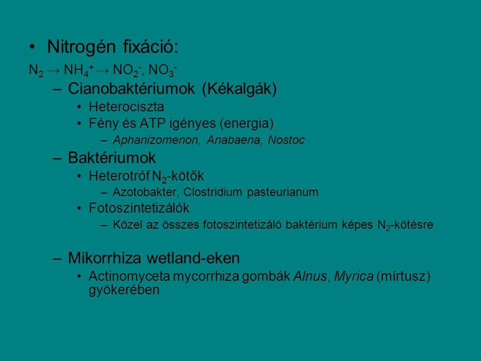 Nitrogén fixáció: N 2 → NH 4 + → NO 2 -, NO 3 - –Cianobaktériumok (Kékalgák) Heterociszta Fény és ATP igényes (energia) –Aphanizomenon, Anabaena, Nost