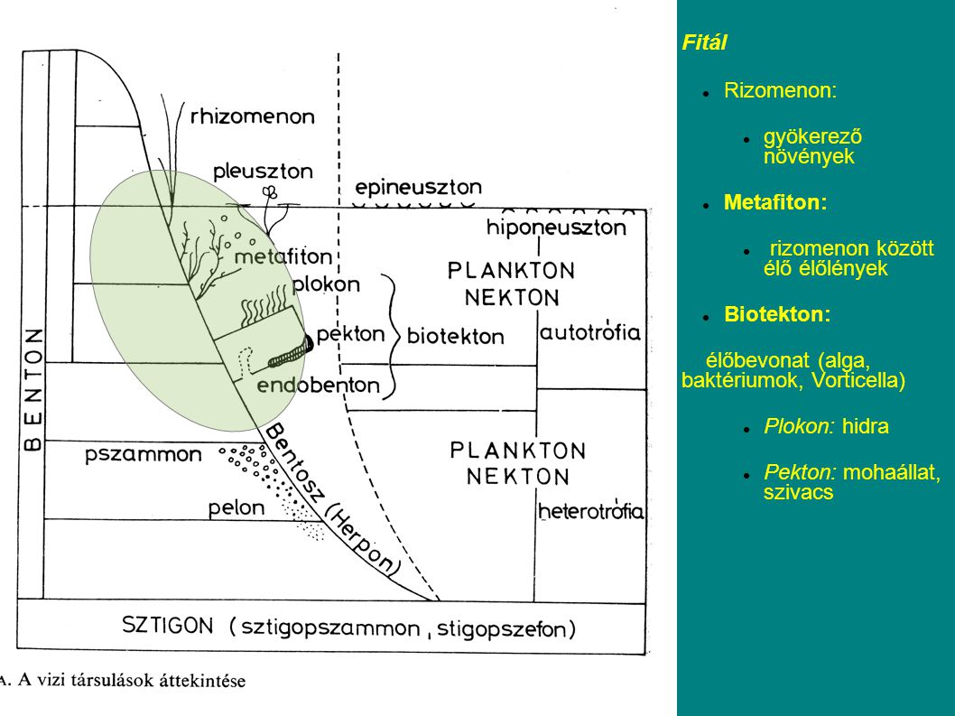 Fitál Rizomenon: gyökerező növények Metafiton: rizomenon között élő élőlények Biotekton: élőbevonat (alga, baktériumok, Vorticella) Plokon: hidra Pekton: mohaállat, szivacs