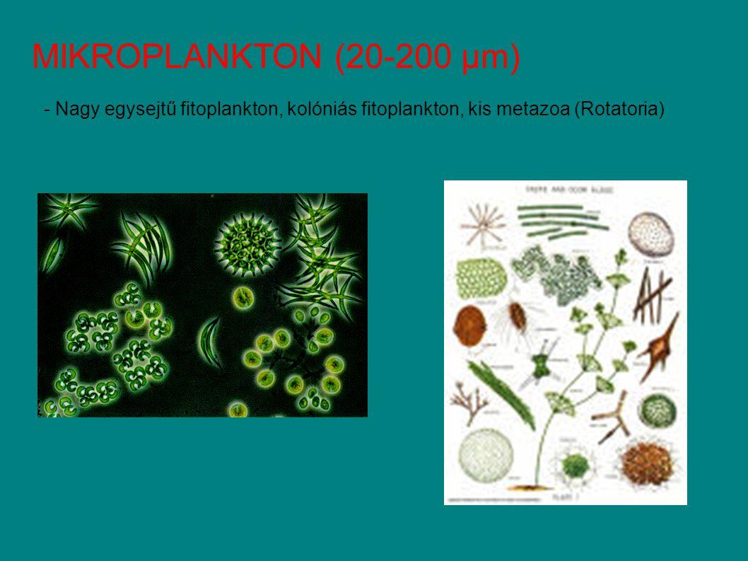 MIKROPLANKTON (20-200 µm) - Nagy egysejtű fitoplankton, kolóniás fitoplankton, kis metazoa (Rotatoria)
