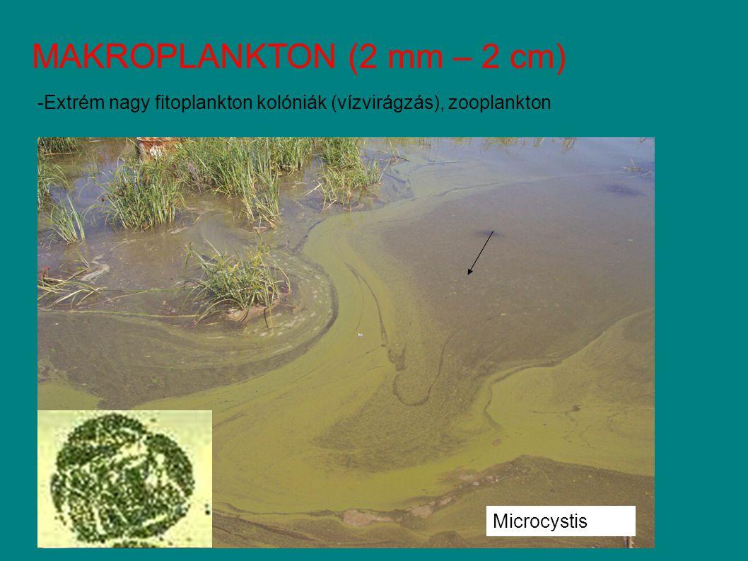 MAKROPLANKTON (2 mm – 2 cm) -Extrém nagy fitoplankton kolóniák (vízvirágzás), zooplankton Microcystis