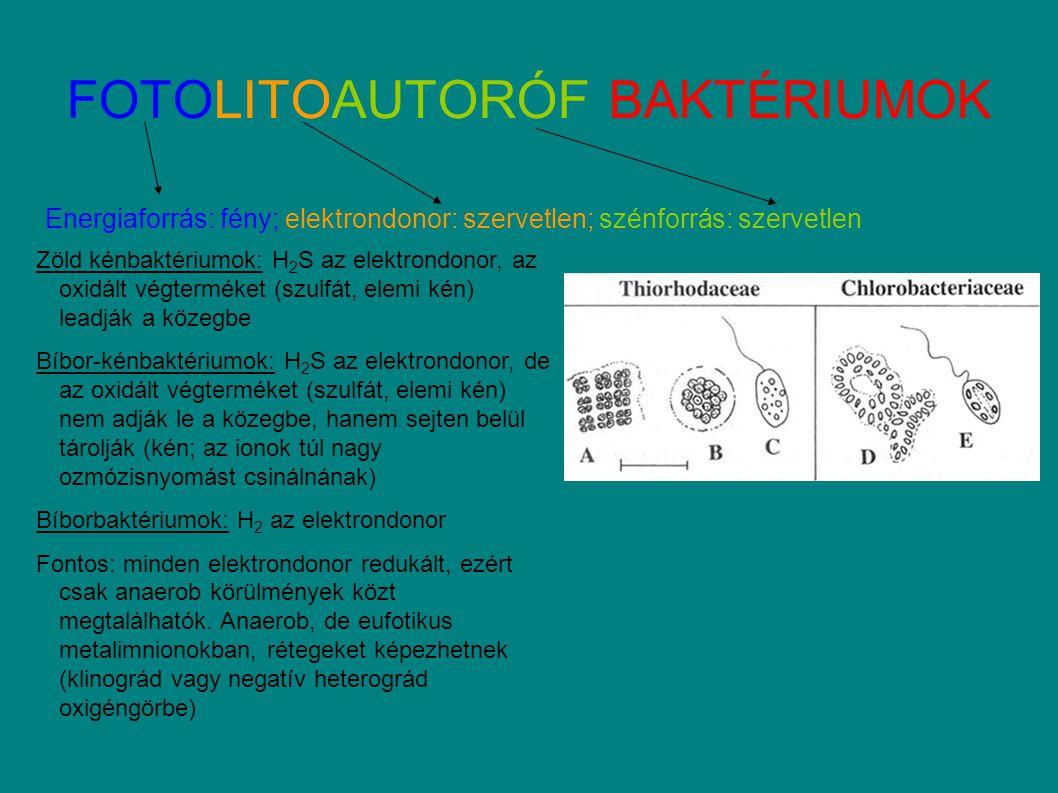 FOTOLITOAUTORÓF BAKTÉRIUMOK Energiaforrás: fény; elektrondonor: szervetlen; szénforrás: szervetlen Zöld kénbaktériumok: H 2 S az elektrondonor, az oxidált végterméket (szulfát, elemi kén) leadják a közegbe Bíbor-kénbaktériumok: H 2 S az elektrondonor, de az oxidált végterméket (szulfát, elemi kén) nem adják le a közegbe, hanem sejten belül tárolják (kén; az ionok túl nagy ozmózisnyomást csinálnának) Bíborbaktériumok: H 2 az elektrondonor Fontos: minden elektrondonor redukált, ezért csak anaerob körülmények közt megtalálhatók.