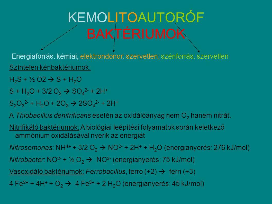 KEMOLITOAUTORÓF BAKTÉRIUMOK Energiaforrás: kémiai; elektrondonor: szervetlen; szénforrás: szervetlen Színtelen kénbaktériumok: H 2 S + ½ O2  S + H 2 O S + H 2 O + 3/2 O 2  SO 4 2- + 2H + S 2 O 3 2- + H 2 O + 2O 2  2SO 4 2- + 2H + A Thiobacillus denitrificans esetén az oxidálóanyag nem O 2 hanem nitrát.