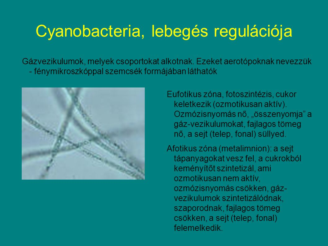 Cyanobacteria, lebegés regulációja Gázvezikulumok, melyek csoportokat alkotnak.