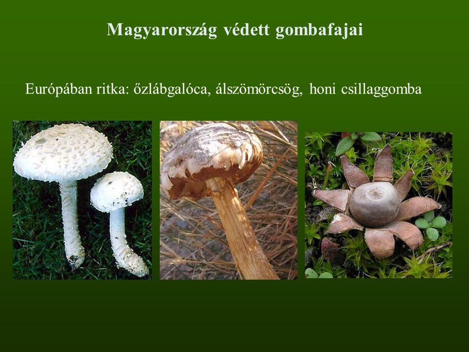Magyarország védett gombafajai Európában ritka: őzlábgalóca, álszömörcsög, honi csillaggomba