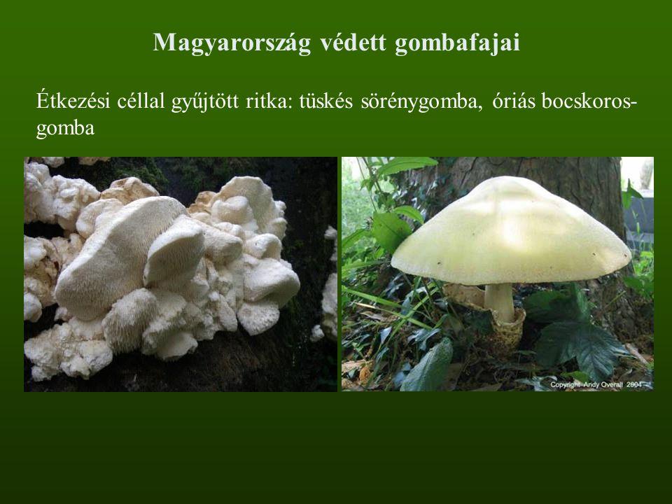 Magyarország védett gombafajai Étkezési céllal gyűjtött ritka: tüskés sörénygomba, óriás bocskoros- gomba
