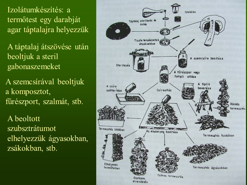 Izolátumkészítés: a termőtest egy darabját agar táptalajra helyezzük A táptalaj átszövése után beoltjuk a steril gabonaszemeket A szemcsírával beoltju