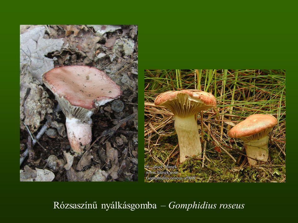 Rózsaszínű nyálkásgomba – Gomphidius roseus