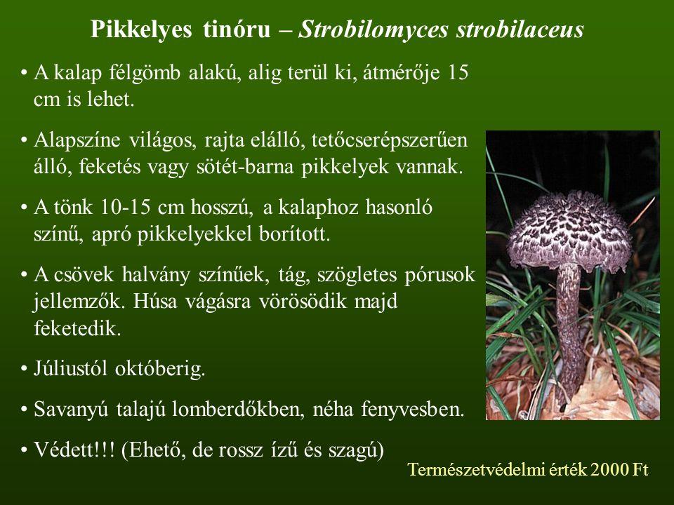 Pikkelyes tinóru – Strobilomyces strobilaceus A kalap félgömb alakú, alig terül ki, átmérője 15 cm is lehet. Alapszíne világos, rajta elálló, tetőcser
