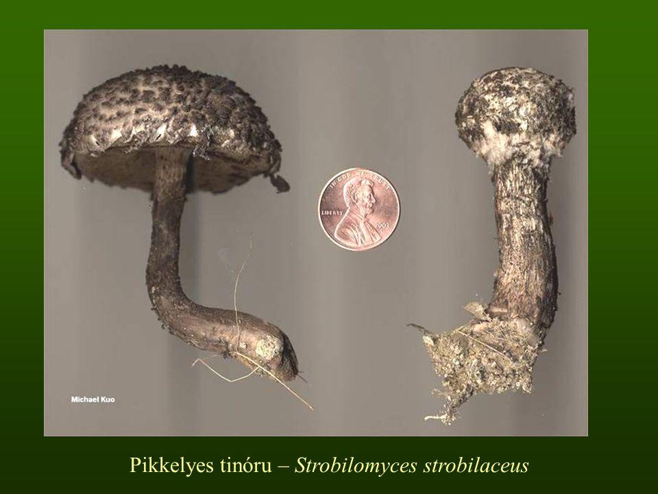 Pikkelyes tinóru – Strobilomyces strobilaceus