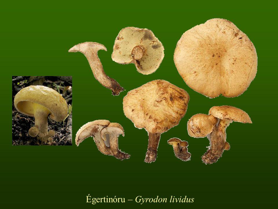 Égertinóru – Gyrodon lividus
