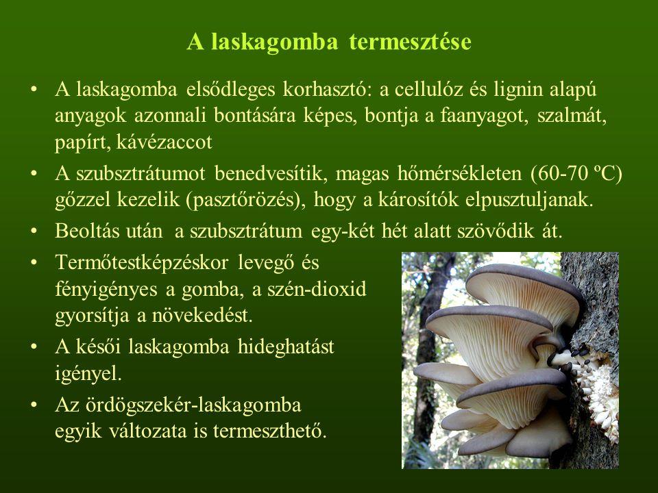 A laskagomba termesztése A laskagomba elsődleges korhasztó: a cellulóz és lignin alapú anyagok azonnali bontására képes, bontja a faanyagot, szalmát,