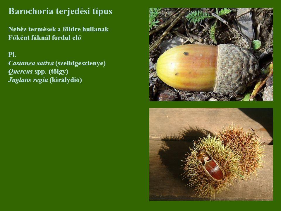 Barochoria terjedési típus Nehéz termések a földre hullanak Főként fáknál fordul elő Pl. Castanea sativa (szelídgesztenye) Quercus spp. (tölgy) Juglan