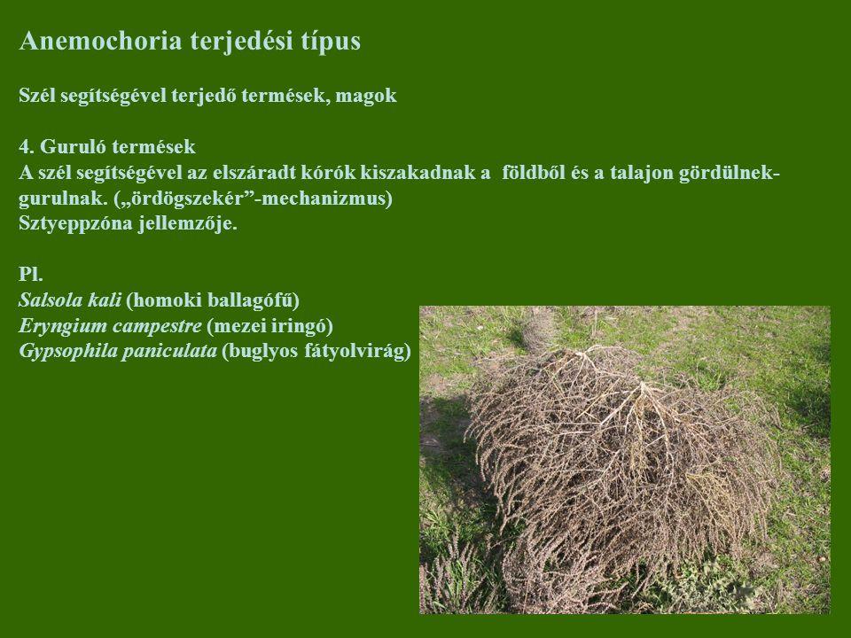 Anemochoria terjedési típus Szél segítségével terjedő termések, magok 4. Guruló termések A szél segítségével az elszáradt kórók kiszakadnak a földből