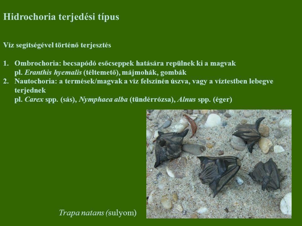 Hidrochoria terjedési típus Víz segítségével történő terjesztés 1.Ombrochoria: becsapódó esőcseppek hatására repülnek ki a magvak pl.