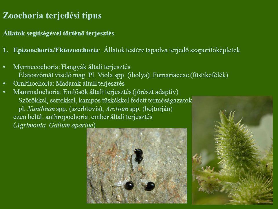 Zoochoria terjedési típus Állatok segítségével történő terjesztés 1.Epizoochoria/Ektozoochoria: Állatok testére tapadva terjedő szaporítóképletek Myrmecochoria: Hangyák általi terjesztés Elaioszómát viselő mag.