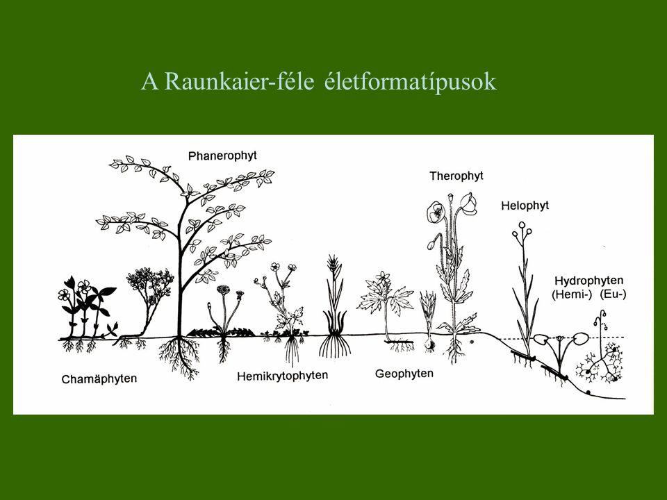 1.Fanerofita (Ph) Fák, cserjék, liánok és epifiták Rügyeik a talaj felszíne fölött legalább 50 cm-re Méretük alapján: mega-, mezo-, mikro-, nanophanerophyton Rügypikkely