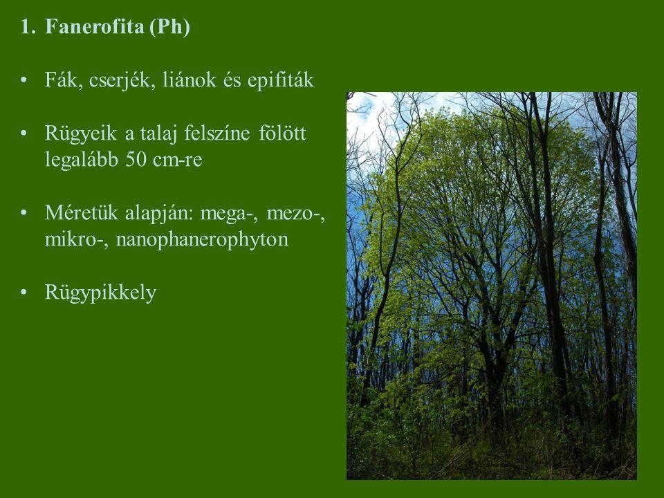 1.Fanerofita (Ph) Fák, cserjék, liánok és epifiták Rügyeik a talaj felszíne fölött legalább 50 cm-re Méretük alapján: mega-, mezo-, mikro-, nanophaner
