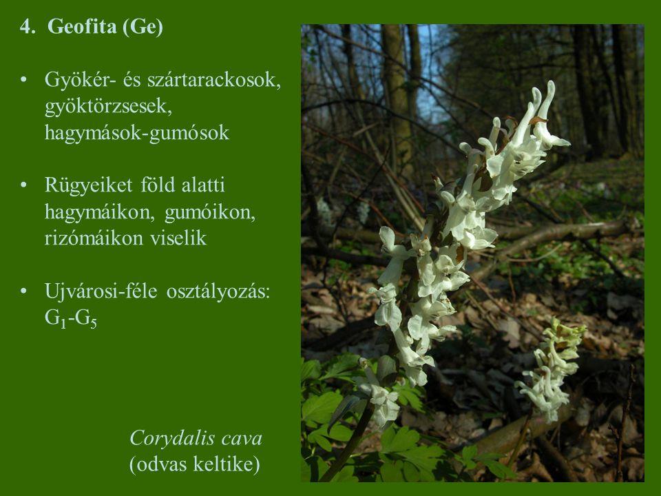 4. Geofita (Ge) Gyökér- és szártarackosok, gyöktörzsesek, hagymások-gumósok Rügyeiket föld alatti hagymáikon, gumóikon, rizómáikon viselik Ujvárosi-fé