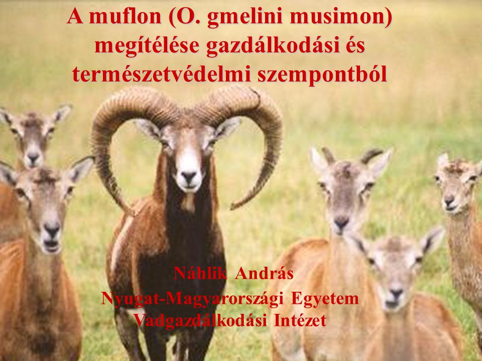 A muflon (O.