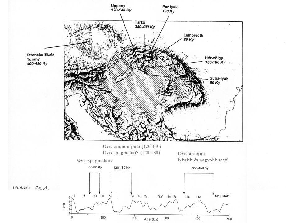Ovis antiqua Kisebb és nagyobb testű Ovis ammon polii (120-140) Ovis sp.