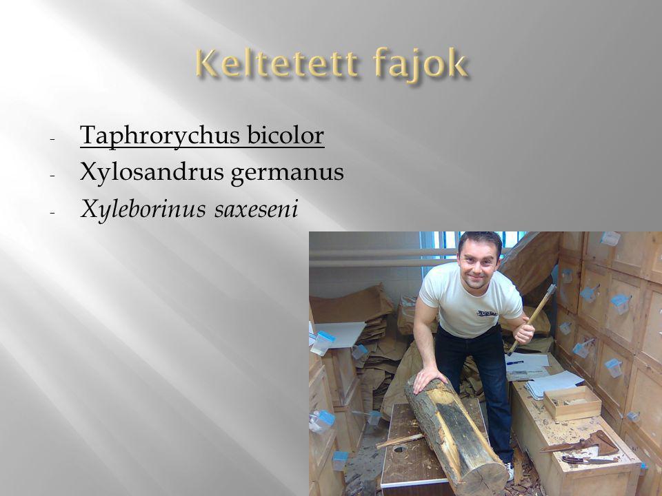 - Taphrorychus bicolor - Xylosandrus germanus - Xyleborinus saxeseni