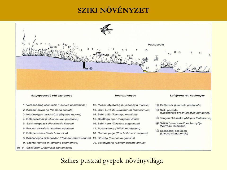 SZIKI NÖVÉNYZET Szikes pusztai gyepek növényvilága