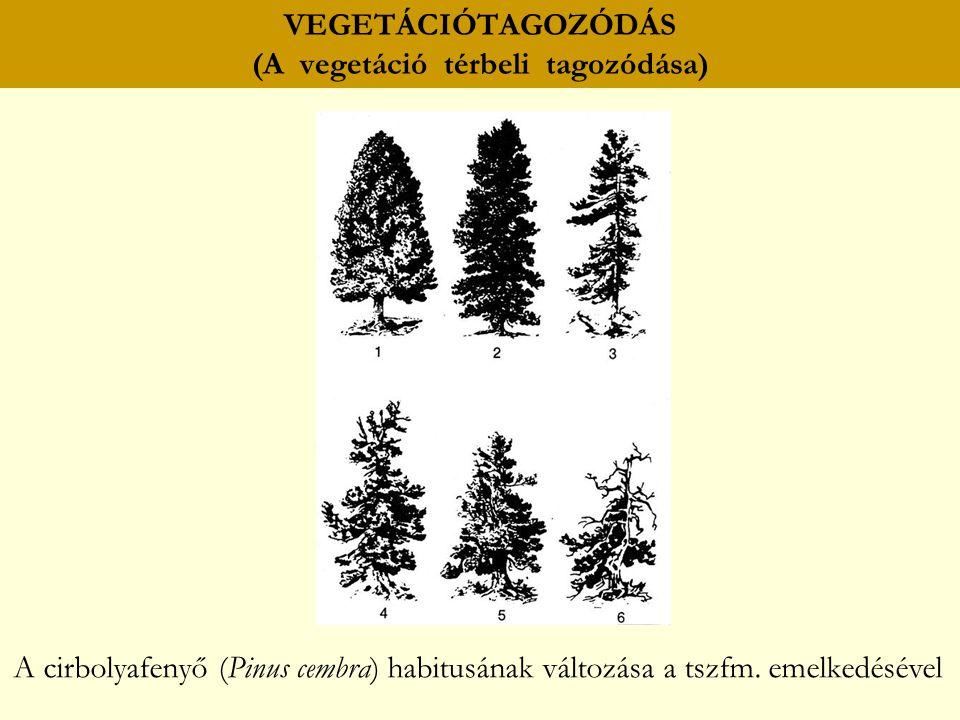 VEGETÁCIÓTAGOZÓDÁS (A vegetáció térbeli tagozódása) A cirbolyafenyő (Pinus cembra) habitusának változása a tszfm. emelkedésével