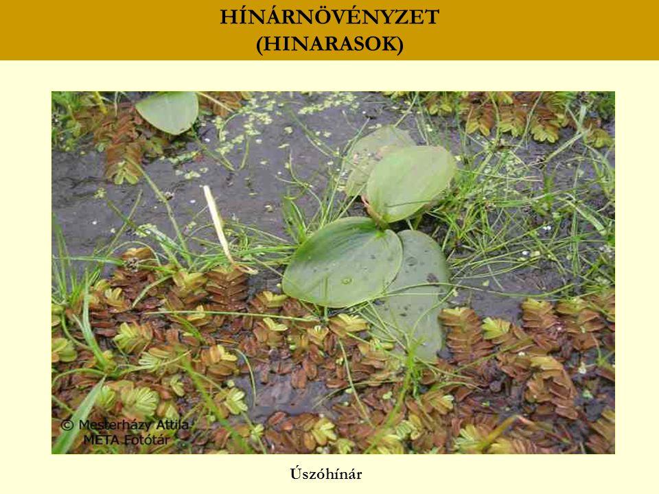 HÍNÁRNÖVÉNYZET (HINARASOK) lebegőhínár békaliliom (Hottonia palustris) rencék (Utricularia spp.) aldrovanda (Aldrovanda vesiculosa) moszatok (Chara spp.)