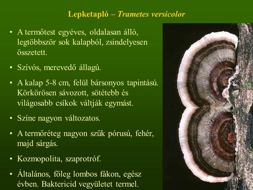 Lepketapló – Trametes versicolor A termőtest egyéves, oldalasan álló, legtöbbször sok kalapból, zsindelyesen összetett.