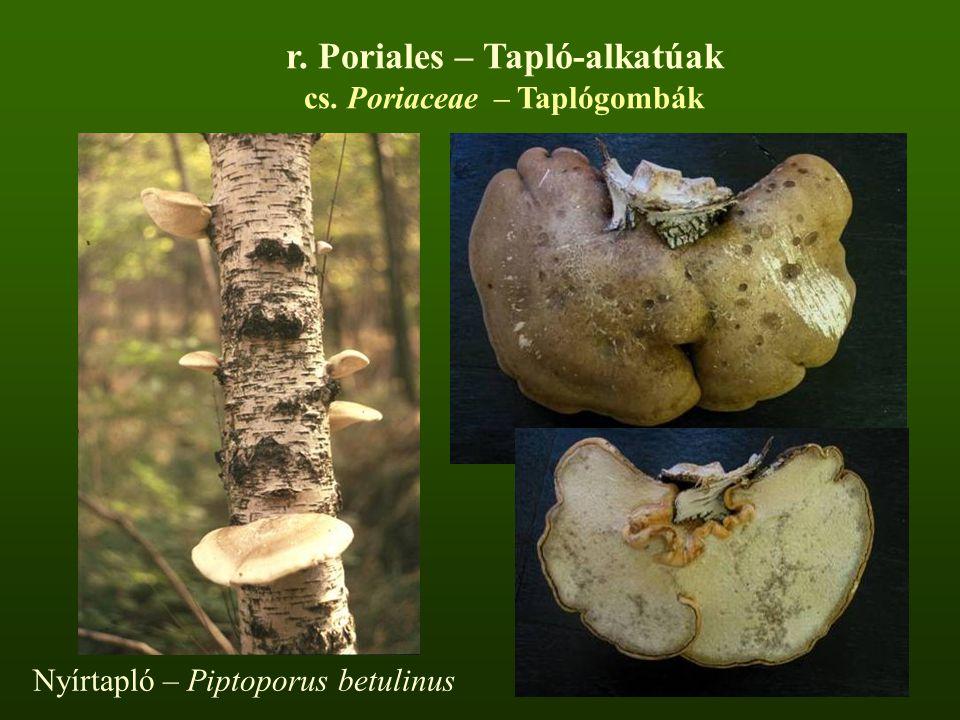 Nyírtapló – Piptoporus betulinus r. Poriales – Tapló-alkatúak cs. Poriaceae – Taplógombák