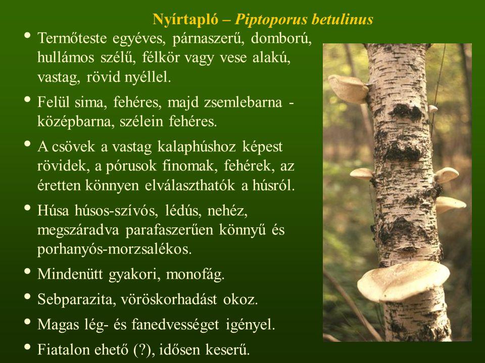 Nyírtapló – Piptoporus betulinus Termőteste egyéves, párnaszerű, domború, hullámos szélű, félkör vagy vese alakú, vastag, rövid nyéllel.