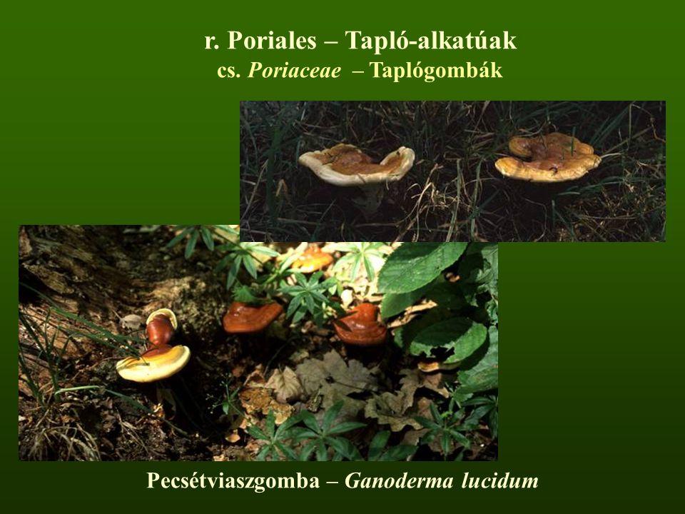 Pecsétviaszgomba – Ganoderma lucidum r. Poriales – Tapló-alkatúak cs. Poriaceae – Taplógombák