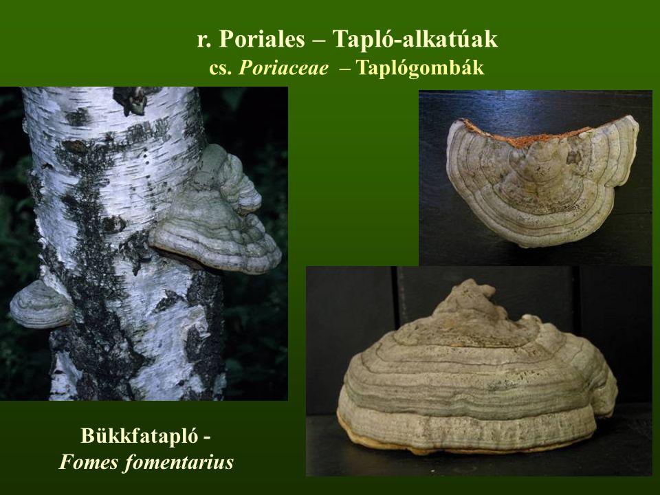 Bükkfatapló - Fomes fomentarius r. Poriales – Tapló-alkatúak cs. Poriaceae – Taplógombák