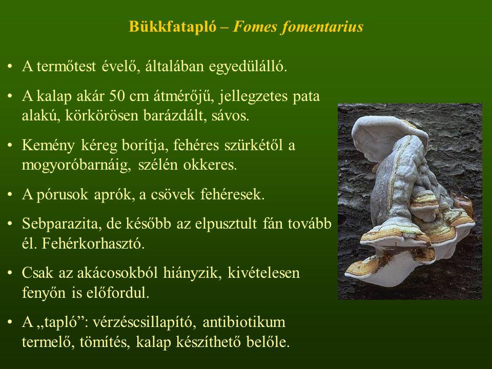 Bükkfatapló – Fomes fomentarius A termőtest évelő, általában egyedülálló.