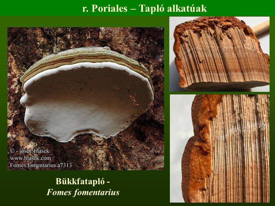 Bükkfatapló - Fomes fomentarius r. Poriales – Tapló alkatúak