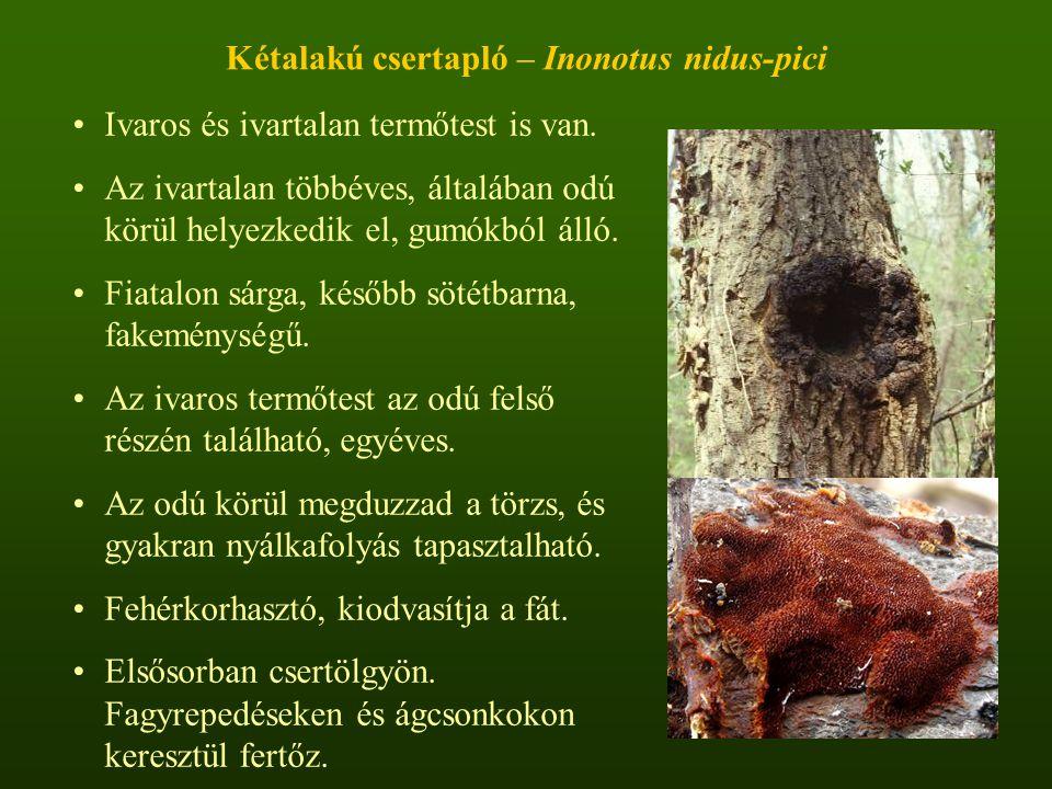 Kétalakú csertapló – Inonotus nidus-pici Ivaros és ivartalan termőtest is van.