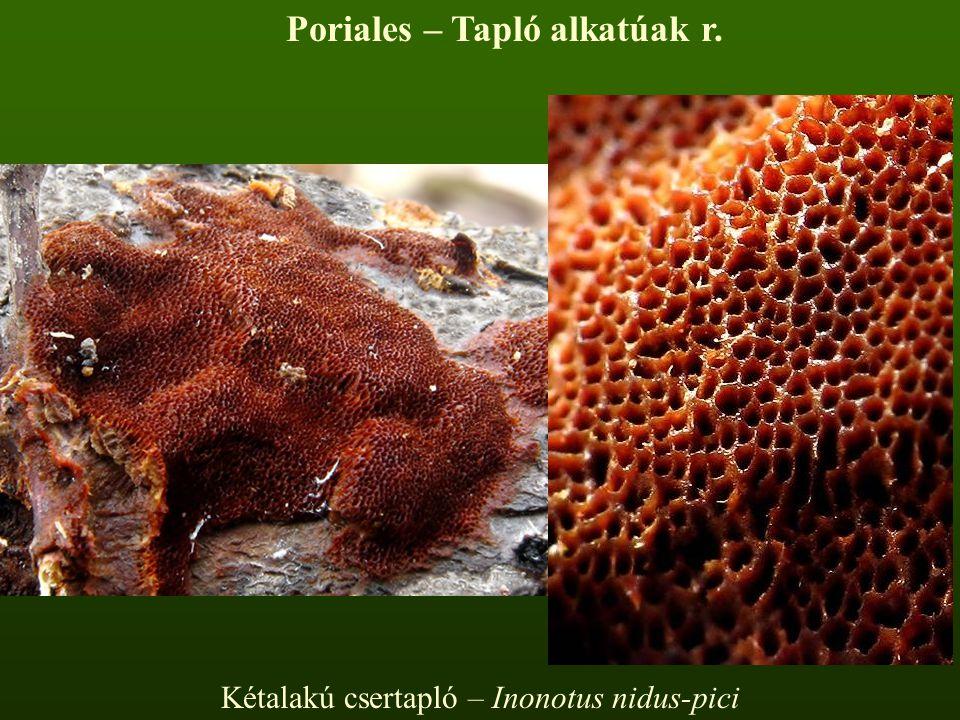 Kétalakú csertapló – Inonotus nidus-pici Poriales – Tapló alkatúak r.