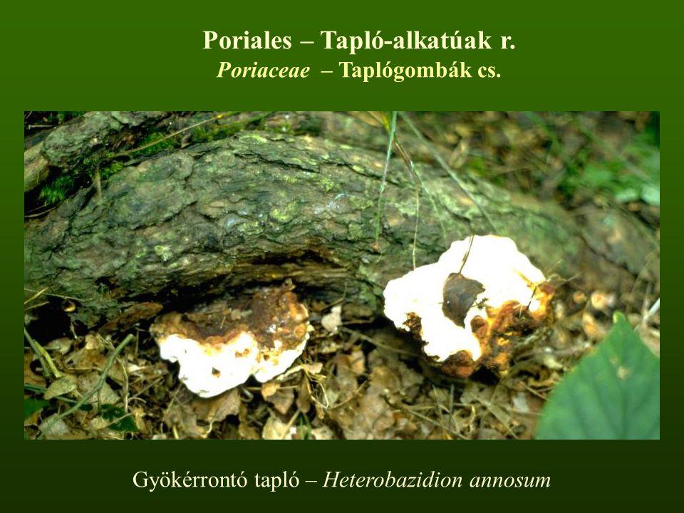 Gyökérrontó tapló – Heterobazidion annosum Poriales – Tapló-alkatúak r. Poriaceae – Taplógombák cs.