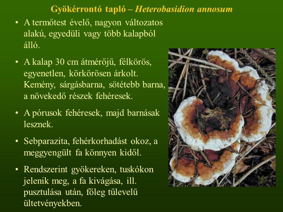 Gyökérrontó tapló – Heterobasidion annosum A termőtest évelő, nagyon változatos alakú, egyedüli vagy több kalapból álló.