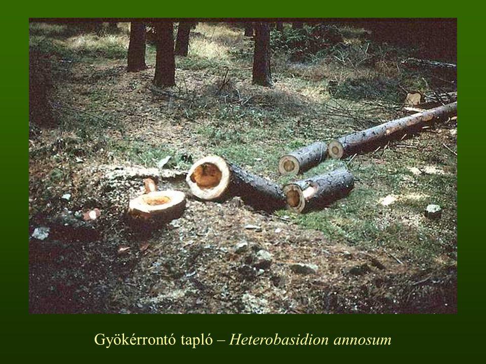 Gyökérrontó tapló – Heterobasidion annosum