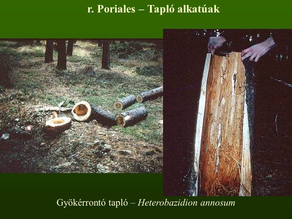 Gyökérrontó tapló – Heterobazidion annosum r. Poriales – Tapló alkatúak