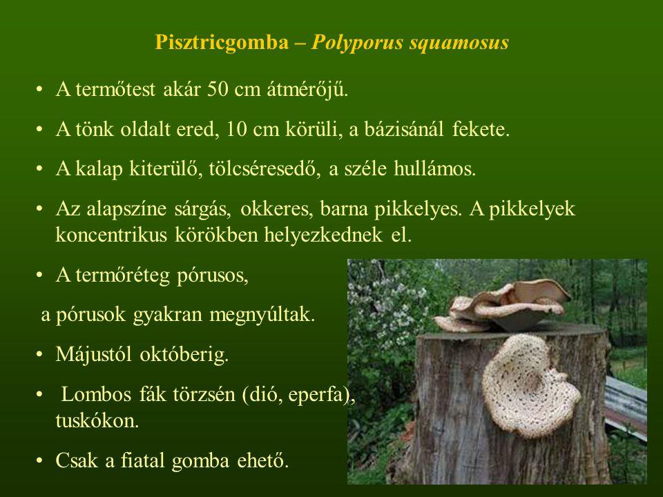 Pisztricgomba – Polyporus squamosus A termőtest akár 50 cm átmérőjű.