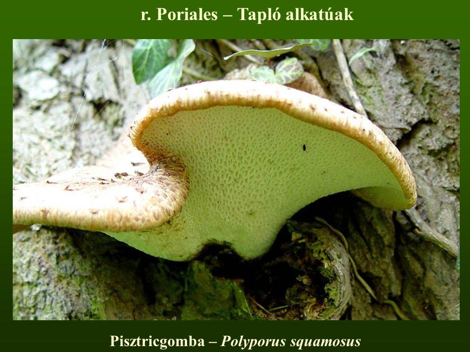 Pisztricgomba – Polyporus squamosus r. Poriales – Tapló alkatúak
