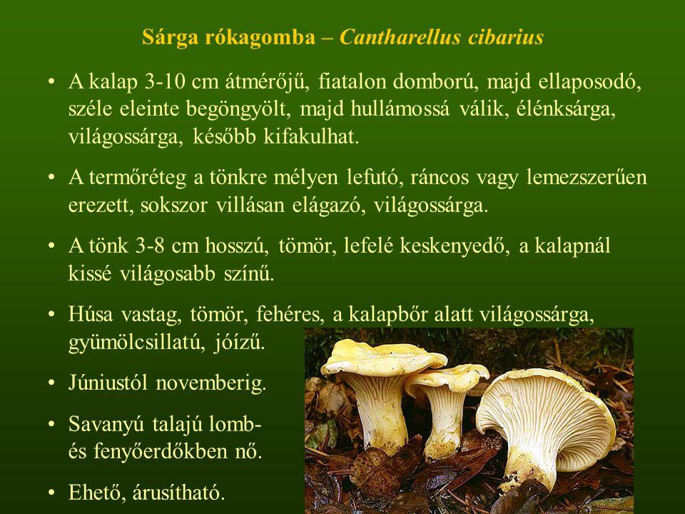 Sárga rókagomba – Cantharellus cibarius A kalap 3-10 cm átmérőjű, fiatalon domború, majd ellaposodó, széle eleinte begöngyölt, majd hullámossá válik, élénksárga, világossárga, később kifakulhat.