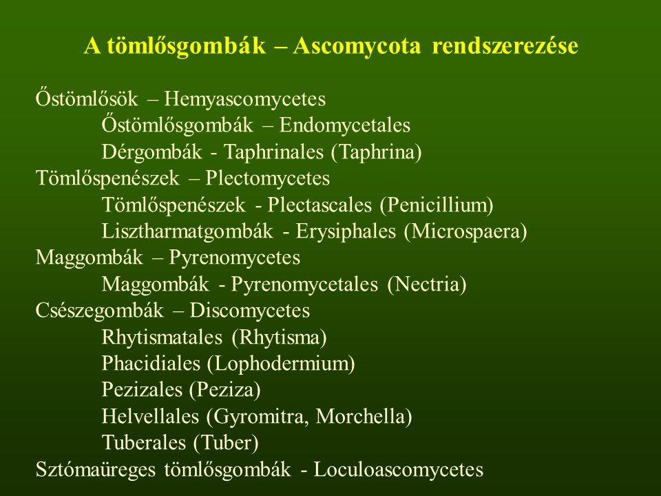 A tömlősgombák – Ascomycota rendszerezése Őstömlősök – Hemyascomycetes Őstömlősgombák – Endomycetales Dérgombák - Taphrinales (Taphrina) Tömlőspenészek – Plectomycetes Tömlőspenészek - Plectascales (Penicillium) Lisztharmatgombák - Erysiphales (Microspaera) Maggombák – Pyrenomycetes Maggombák - Pyrenomycetales (Nectria) Csészegombák – Discomycetes Rhytismatales (Rhytisma) Phacidiales (Lophodermium) Pezizales (Peziza) Helvellales (Gyromitra, Morchella) Tuberales (Tuber) Sztómaüreges tömlősgombák - Loculoascomycetes