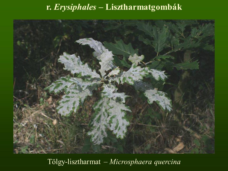 Tölgy-lisztharmat – Microsphaera quercina r. Erysiphales – Lisztharmatgombák