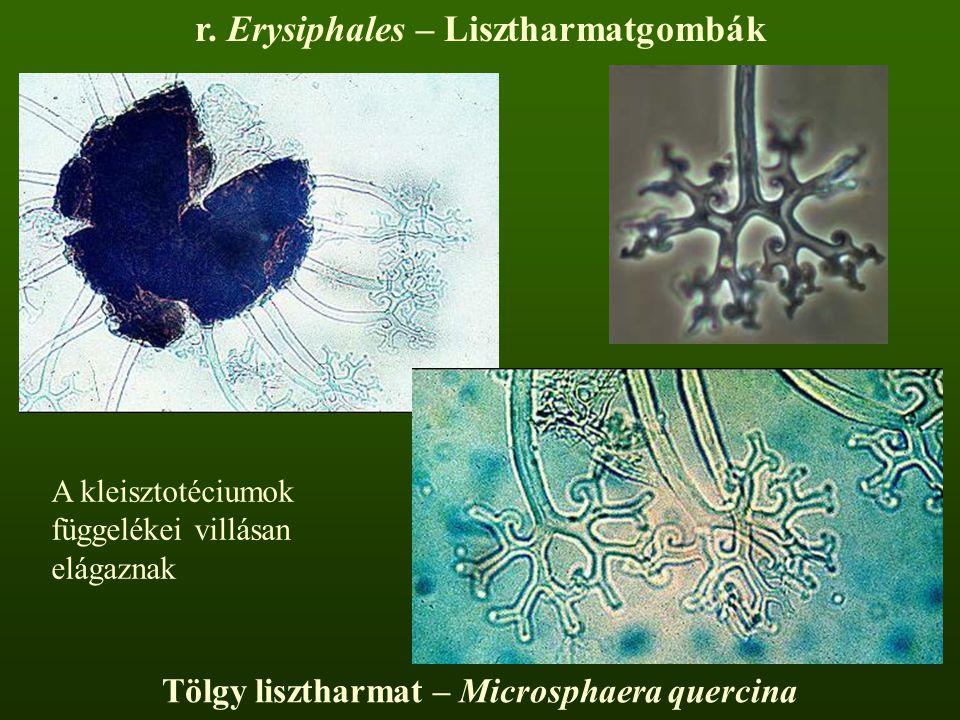 Tölgy lisztharmat – Microsphaera quercina A kleisztotéciumok függelékei villásan elágaznak