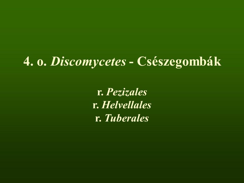 4. o. Discomycetes - Csészegombák r. Pezizales r. Helvellales r. Tuberales